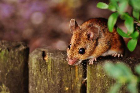 Oprez u prirodi! Dolazi vrijeme kad se  lako možete zaraziti opakom mišjom groznicom!